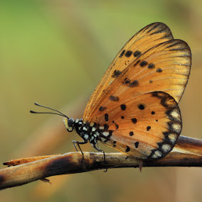 butterdream .. by Said  Ikhsan - Animals Insects & Spiders ( macro )