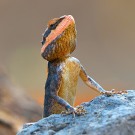 The Peninsular rock agama.. by Vijay Singh Chandel - Animals Reptiles ( picture, picoftheday, reptiles, jungle, pixoto, wildlife, forest, reptile )