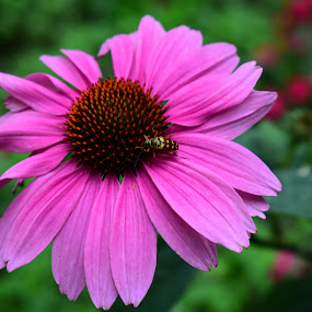 by Tiffany Serijna - Flowers Single Flower ( up close, nature, tiffanyserijna, daisy, pink, insect, outside, flower )