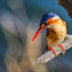 African Kingfisher by Krasimir Lazarov - Animals Birds ( wild life, afrika, pilanesberg, south africa, kingfisher, africa, birds, portrait,  )