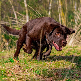 Running Labrador by Jenny Trigg - Animals - Dogs Running ( playing, retriever, labrador, running )