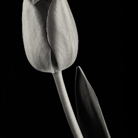 Tulip 2 by Simon Hall - Black & White Flowers & Plants