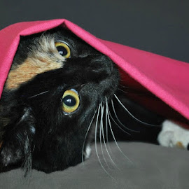 Playing Kitty P by B Lynn - Animals - Cats Playing ( cats, cat, kitten, pets )