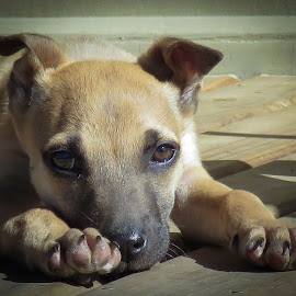 Sometimes I sits and thinks and sometimes I just sits. by Sean Snyman - Animals - Dogs Puppies