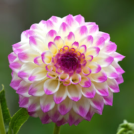 Dahlia 9944 by Raphael RaCcoon - Flowers Single Flower