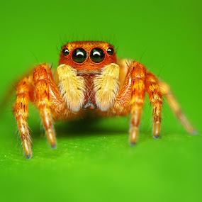 A little yellow spider. by Dzuy My - Animals Insects & Spiders