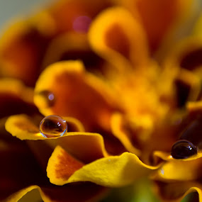 Flower Drops by Salden Toy Eltagonde - Abstract Macro ( water ·     orange ·     winter ·     drops ·     flower )