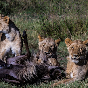 Lunch is almost ready by Sinclair Parkinson - Animals Lions, Tigers & Big Cats ( canon, masai, lion, wildebeest, mara, masai mara, death, sinclair parkinson, feeding, kenya, kill, canon 7d, pride, predator, 7d, fat spanner photography, survive, food, safari, feed, lions, survival, africa )