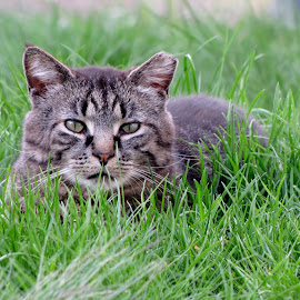 Roar the feral cat by Maribeth Barrett - Novices Only Pets