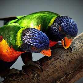 Lorikeet Pair II by Shawn Thomas - Animals Birds
