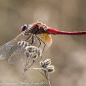 Red veined Darter