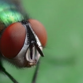 Eye of the fly by Michal Fokt - Animals Insects & Spiders ( fly, eye )