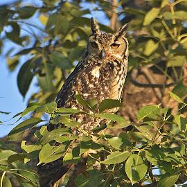 Indian Eagle Owl by Reitesh Khabia - Animals Birds ( #nature #owl #wildlifeonearth #indianwildlife #owlsofindia )