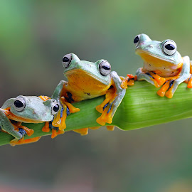 Rhacophorus Reinwardtii by Kurit Afsheen - Animals Amphibians ( macro, tree frog, amphibian, animal )