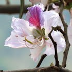 Orchid-tree