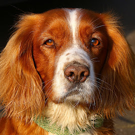 Perry by Chrissie Barrow - Animals - Dogs Portraits ( red, cocker spaniel, long haired, pet, male, white, fur, ears, dog, nose, tan, portrait, eyes )