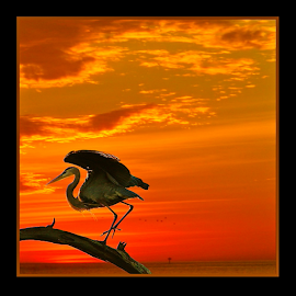 { Great Blue Heron ~ Getting Comfortable for the Night ~ 6 July }  by Jeffrey Lee - Digital Art Animals ( { great blue heron ~ getting comfortable for the night ~ 6 july } )