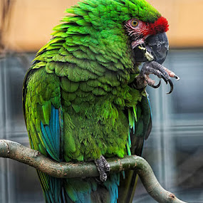 Macaw by Steve BB - Instagram & Mobile Android ( bird, parakeet, green, parrot, beak, feathers, macaw )