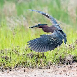 Green Heron by Carl Albro - Animals Birds ( flight, landing, green heron, bird, flying, heron, wildlife )