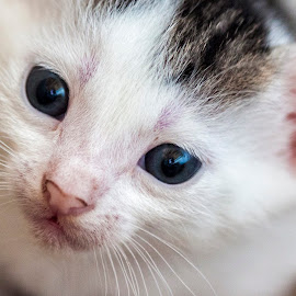 NewBorn Kitty Cat by Giannis Paraschou - Animals - Cats Kittens ( red nose, kitten, cat, blue eyes, little cat, kitty, kittycat )