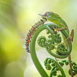 Caterpillar Kiss a  chameleon by Sulistyo Aji - Animals Reptiles ( macro, nature, sigma, nkon, indonesia, caterpillar, stage, chameleon, natural )