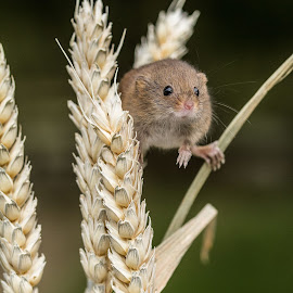 Mouse by Garry Chisholm - Animals Other Mammals ( mice, garry chisholm, nature, harvest mouse, british wildlife, rodent )
