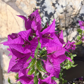 Bougainvillea by Sheila Hull-Summers - Novices Only Flowers & Plants ( panama, bougainvillea, purple flowers, nature up close, flowers )