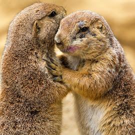 Friends by Lee Jorgensen - Animals Other Mammals ( animals, prairie dog, zoo, wild animals, mammal,  )