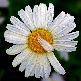 Rainwater on Flower by Naveen Naidu - Flowers Single Flower