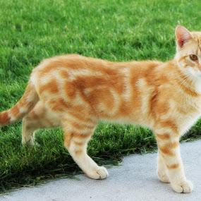 Fox by Amanda Saxton-Jenson - Animals - Cats Portraits (  )
