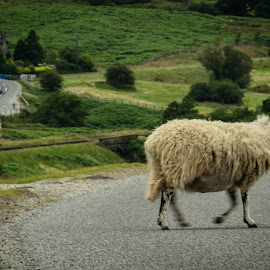 On the Move by Marc Steele - Animals Other Mammals ( north yorkshire moors, countryside, hills, grass, green, road, house, rural, out of focus, country, fuzz, goathland, yorkshire, movement, outdoors, summer, screw up, focus, sheep, wool, animal )