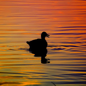 Duck at Dusk by Malcolm Hare - Animals Birds (  )