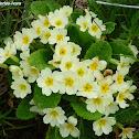 English primrose