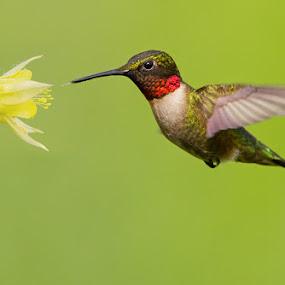 Ruby-Throated Hummingbird by Mircea Costina - Animals Birds