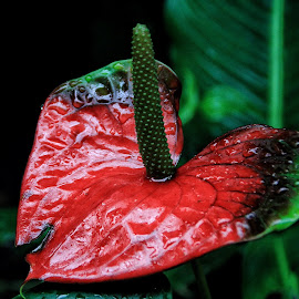 Anthurium by Margie Troyer - Nature Up Close Other plants