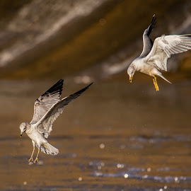 What's Down There by Roy Walter - Animals Birds ( water, flight, animals, wings, wildlife, seagulls, lake, birds )