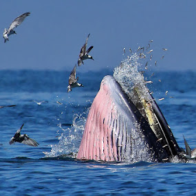 Bryde's whale by Sasi- Smit - Animals Other