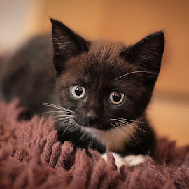 Tuppence by Emma Thompson - Animals - Cats Kittens ( pet photography, cat, kitten, cute cat, baby animals, kitty )