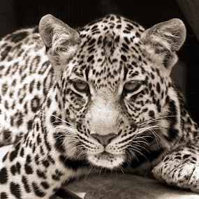 Young Leopard B&W by Ingrid Anderson-Riley - Black & White Animals (  )