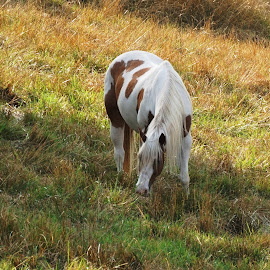 Perfect Paint by Alycia Marshall-Steen - Animals Horses ( paint horse, american paint horse, brown white horse, paint pony, horse field, h )