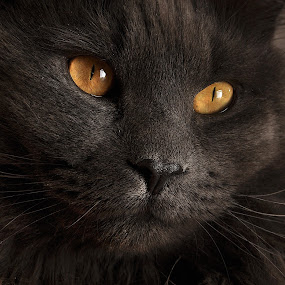 Smokey Closeup by Corinne Noon - Animals - Cats Portraits