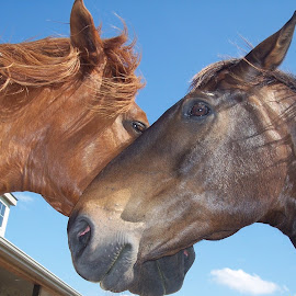 Nose Hug by Sandy Stevens Krassinger - Animals Horses ( animals, horses, manes, ears, noses, eyes,  )