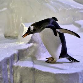 penguin by Nic Scott - Animals Other ( penguin )