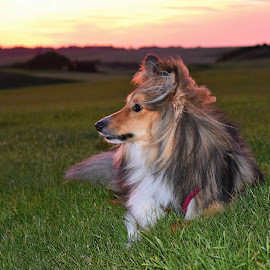 Benji at the golf course by Fiona Etkin - Animals - Dogs Portraits ( canine, nature, sunset, pet, shetland sheepdog, dog, sheltie, animal )