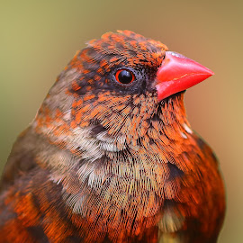 Red avadavat by Nelson Thekkel - Animals Birds