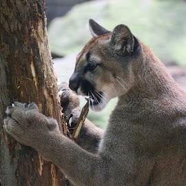 Mad Cougar by Brian Homitz - Animals Lions, Tigers & Big Cats ( big cat, big cats, cat, cougar, tree, paws, teeth, cougars,  )