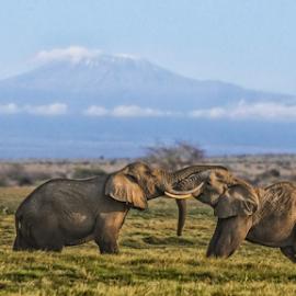 playfull by Wim Moons - Animals Other Mammals ( amboseli, elephant, kenya, kilimanjaro, africa )