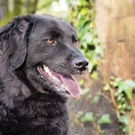 Maddie 2 by Jennifer Wollman - Animals - Dogs Portraits ( animals, pet photography, dogs, dog portrait, labrador )