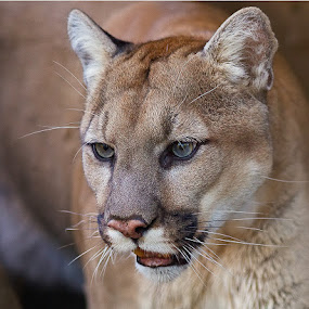 by Herb Houghton - Animals Other Mammals ( wild cat, cougar, mountain lion )