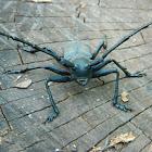 Morimus asper beetles